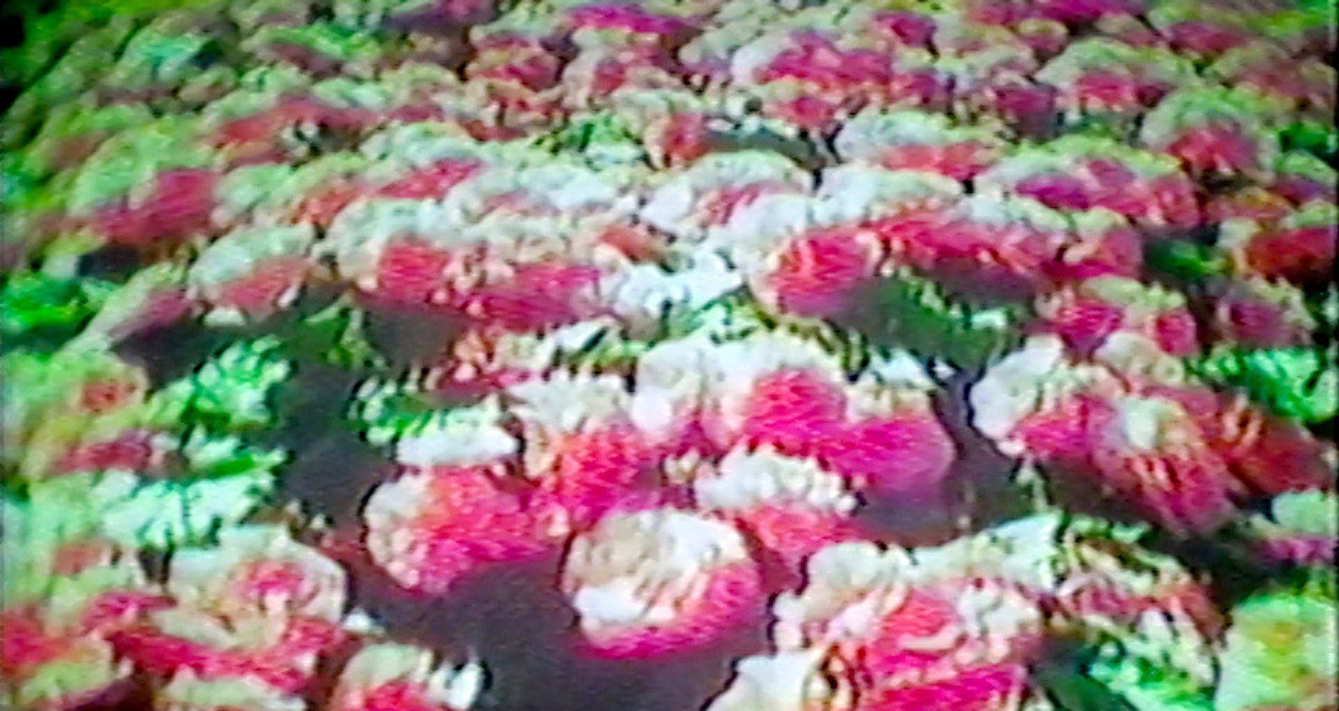 fleurs, rose, champ vert